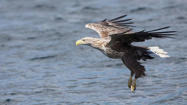 Photograph - White-tailed Eagle On Final Approach by Peter Walkden