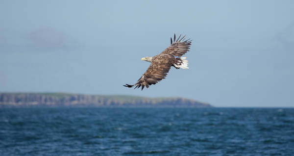 Photograph - White-tailed Eagle Over The Sea by Peter Walkden