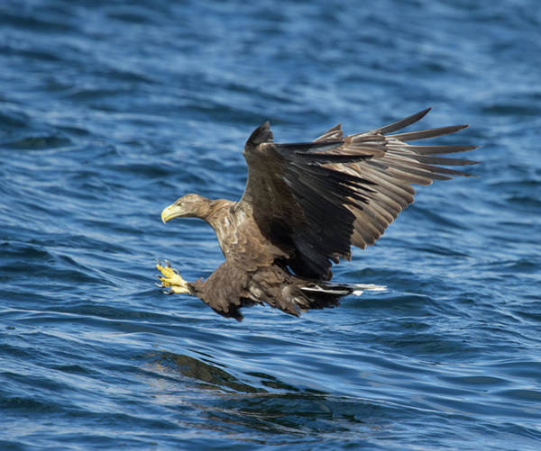 Photograph - White-tailed Eagle Taking Fish by Peter Walkden