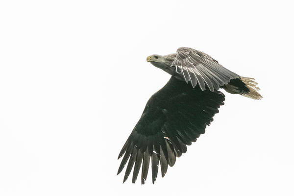 Photograph - White Tailed Eagle by Wendy Cooper