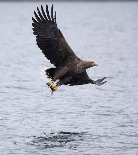 Photograph - White-tailed Eagle With Catch by Peter Walkden