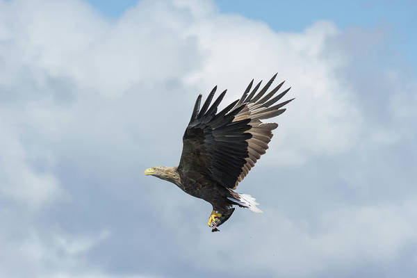 Photograph - White-tailed Eagle With Fish by Peter Walkden