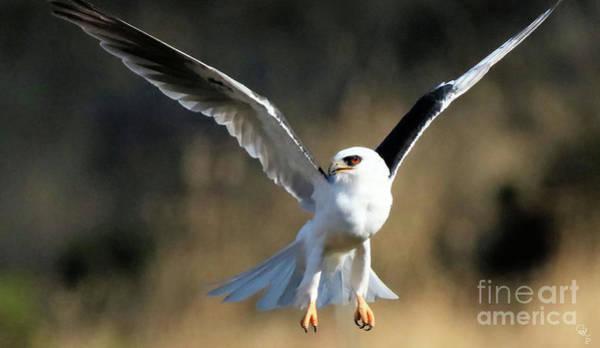 White-tailed Kite Photograph - White-tailed Kite 7-2017 2 by Cheryl Gidding