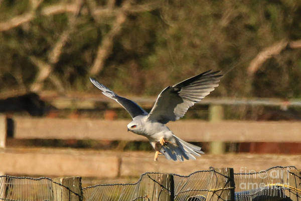 White-tailed Kite Photograph - White-tailed Kite And Vole by Craig Corwin