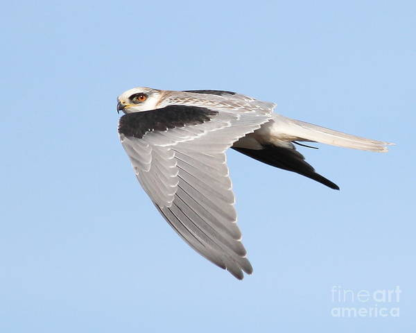 Photograph - White-tailed Kite Hawk In Flight . 7d11110 by Wingsdomain Art and Photography