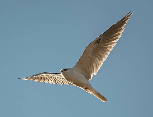 White-tailed Kite Photograph - White-tailed Kite In Morning Light by Loree Johnson