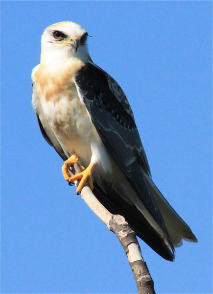 White-tailed Kite Photograph - White-tailed Kite by Paul Marto