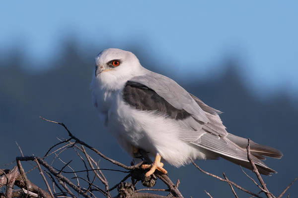 Kite Photograph - White Tailed Kite Taking A Break From The Hunt by Kathleen Bishop