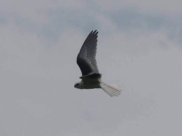 Photograph - White Tailed Kite Volcan Irazu Costa Rica by NaturesPix
