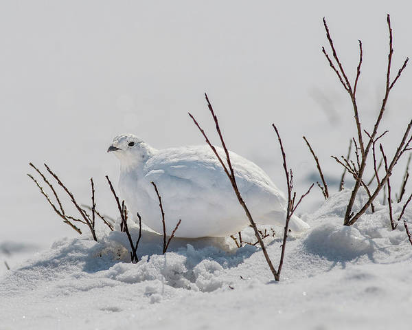 Chicken Feet Photograph - White-tailed Ptarmigan In Loveland Pass by Morris Finkelstein
