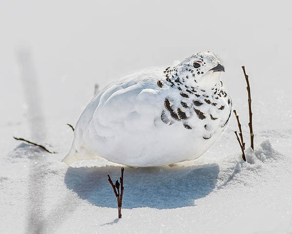 Chicken Feet Photograph - White-tailed Ptarmigan In The Snow by Morris Finkelstein
