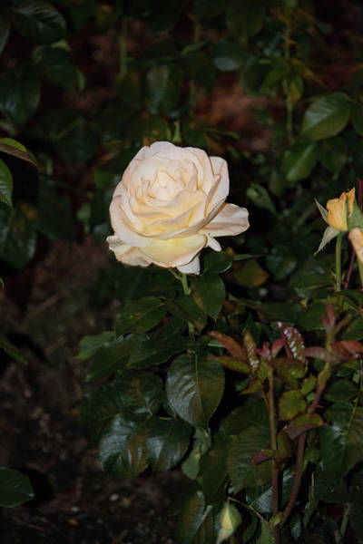 Photograph - White Tea Rose At Night by Michael Bessler