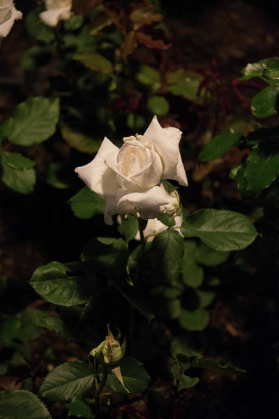 Photograph - White Tea Rose Bud At Night by Michael Bessler