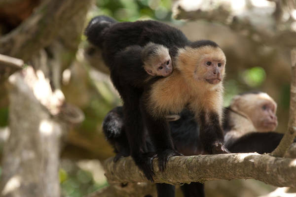 White Throated Capuchin Art Print