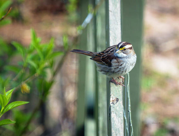 Photograph - White Throated Sparrow by Bellesouth Studio