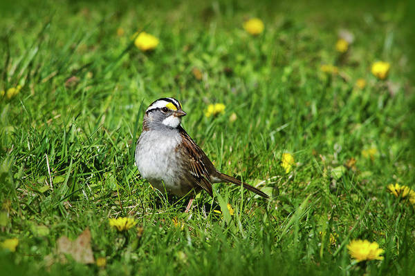 Photograph - White Throated Sparrow by Christina Rollo