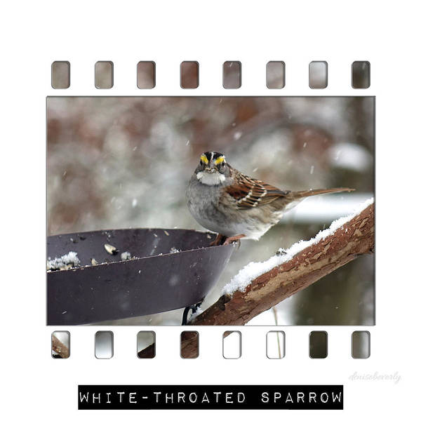 Photograph - White-throated Sparrow by Denise Beverly
