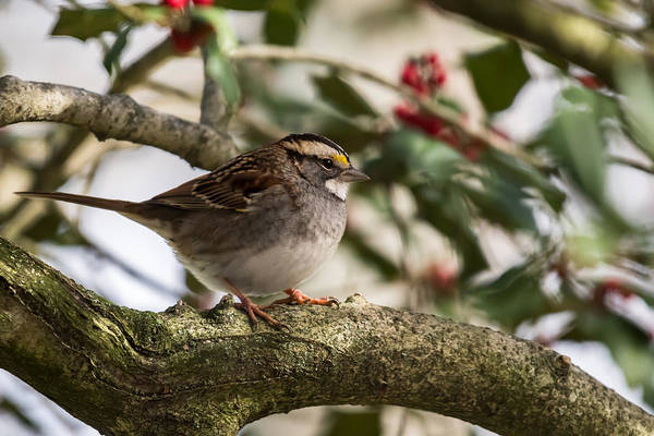 White-throated Sparrow Photograph - White Throated Sparrow In Holly Tree by Terry DeLuco
