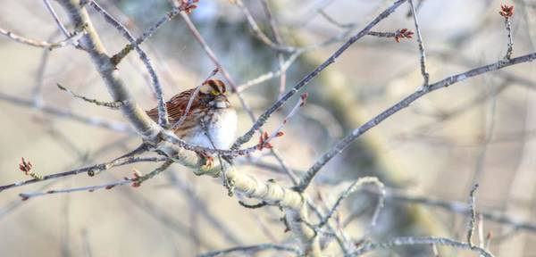 Photograph - White-throated Sparrow In Winter by Carol Montoya