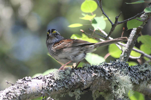Photograph - White Throated Sparrow by John Meader