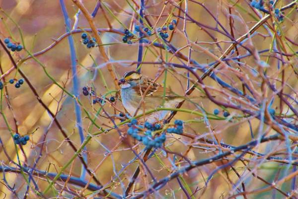 White-throated Sparrow Photograph - White Throated Sparrow by Karen Silvestri