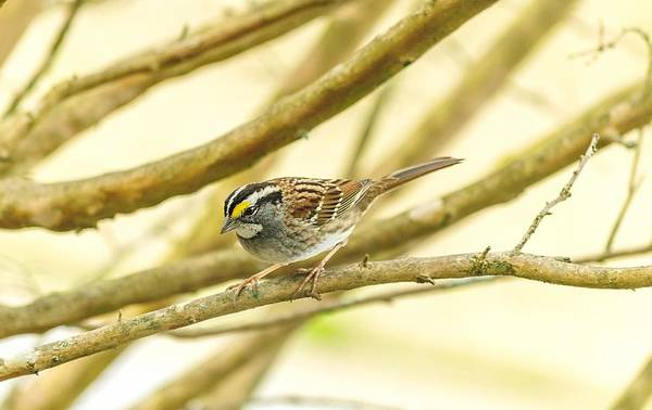 Photograph - White Throated Sparrow by Keith Smith