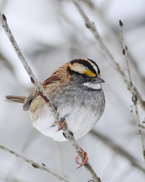 White-throated Sparrow Photograph - White Throated Sparrow by Michael Peychich
