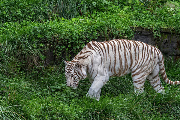 Photograph - White Tiger by Arterra Picture Library