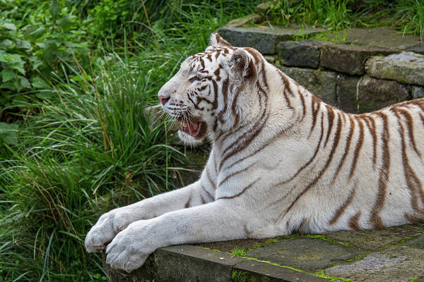 Photograph - White Tiger In Temple by Arterra Picture Library