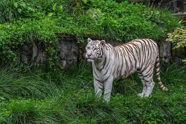 Photograph - White Tiger In Temple Ruin by Arterra Picture Library