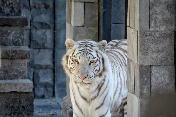 Photograph - White Tiger by Ingrid Dendievel
