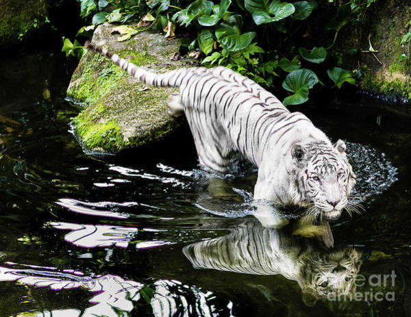 Photograph - White Tiger by Miles Whittingham