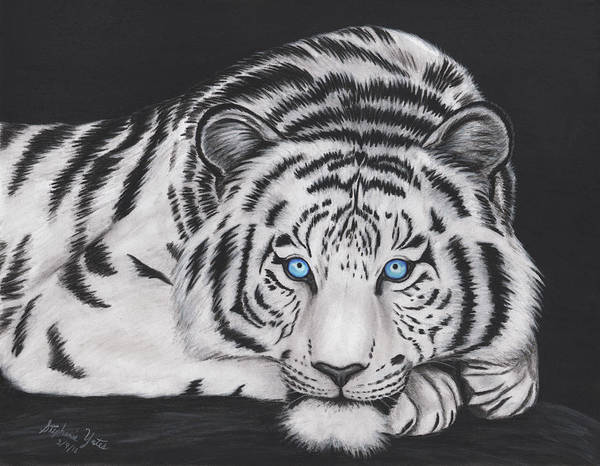 White Tiger Drawing - White Tiger by Stephanie Yates