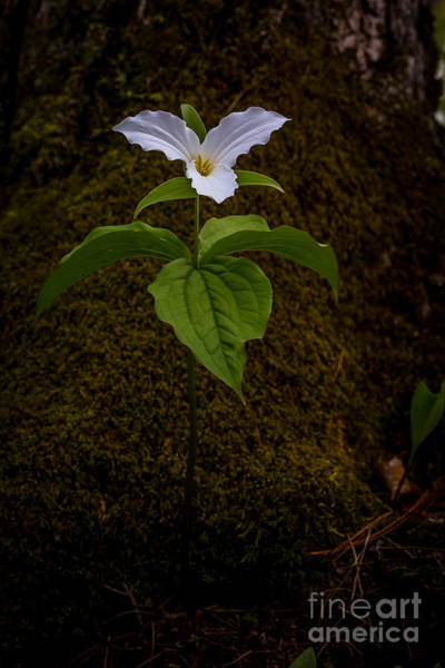Photograph - White Trillium by Roger Monahan