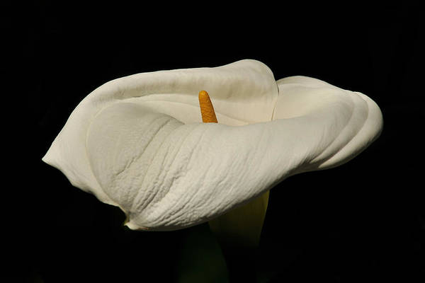Photograph - White Calla Lily by Howard Bagley