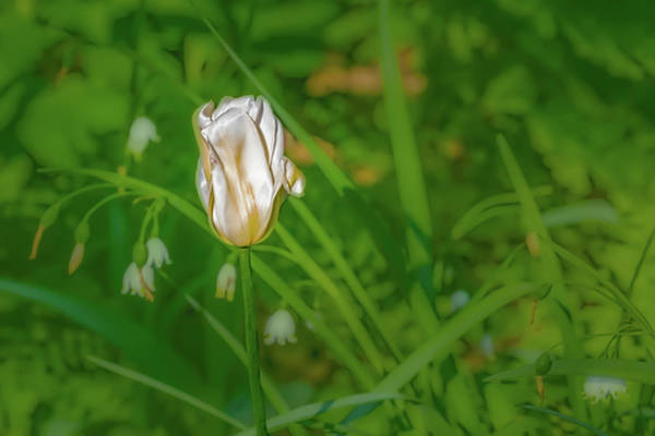 Photograph - White Tulip June 2016.  by Leif Sohlman