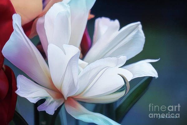 Photograph - White Tulip by Jutta Maria Pusl
