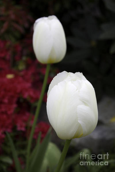 Photograph - White Tulips by Donna L Munro