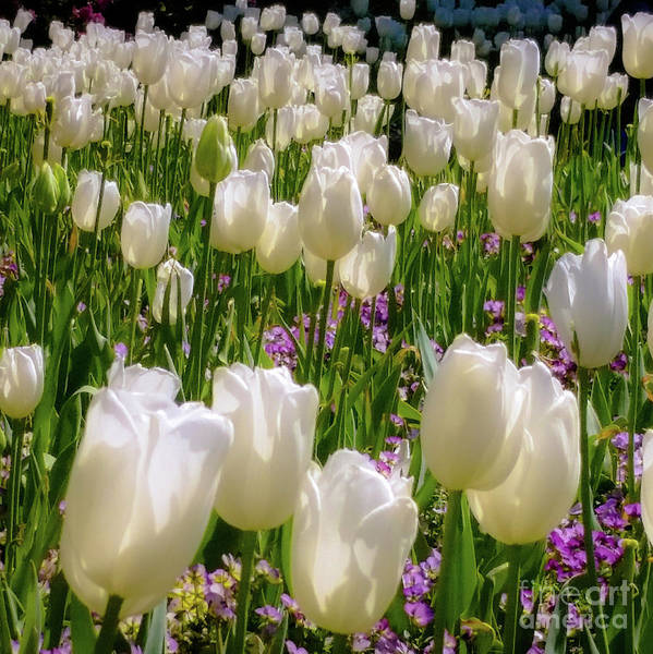 Photograph - White Tulips In Bloom by D Davila