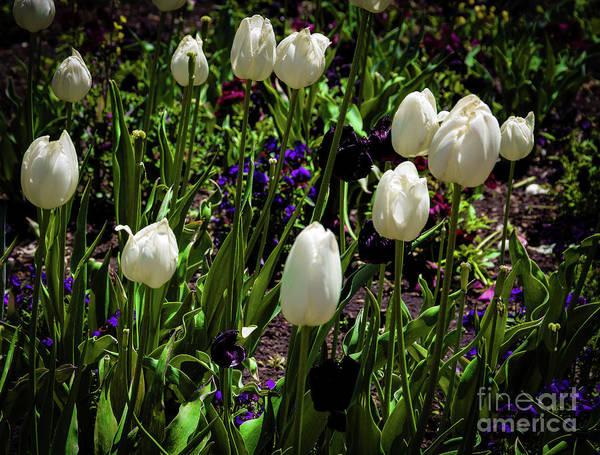 Photograph - White Tulips by Jon Burch Photography