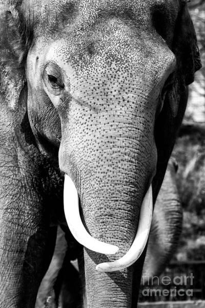 Photograph - White Tusks by John Rizzuto