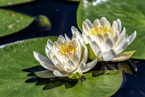 Photograph - White Water Lilies by Betty Pauwels
