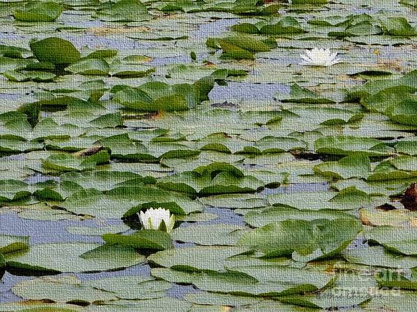 Photograph - White Water Lilies by Kathie Chicoine