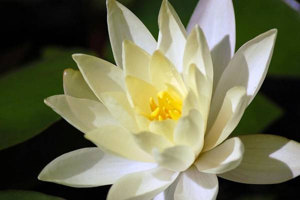 Photograph - White Water Lily by Donna Bentley