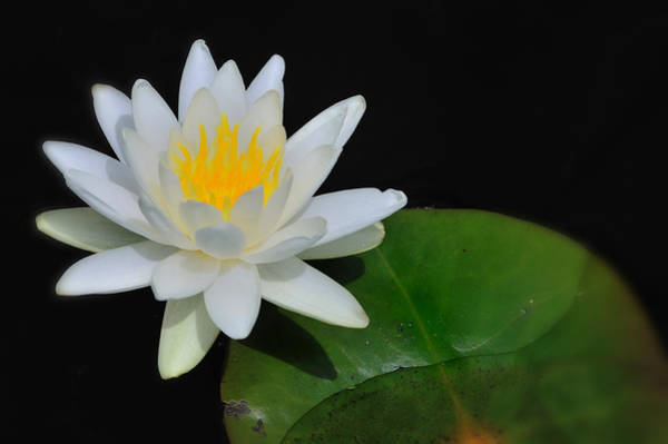 Photograph - White Water Lily by T-S Fine Art Landscape Photography