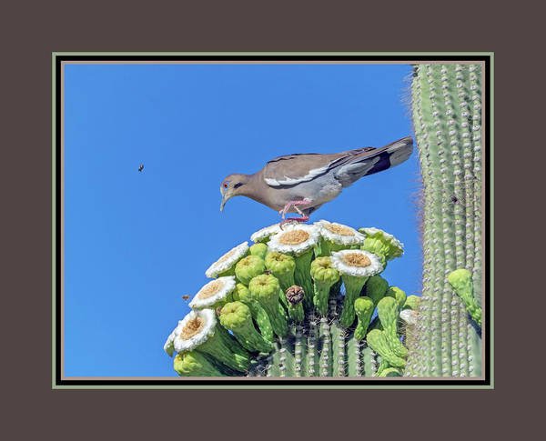 Photograph - White-wiged Dove On Saguaro Blooms 9887-050918-1cr-matte by Tam Ryan