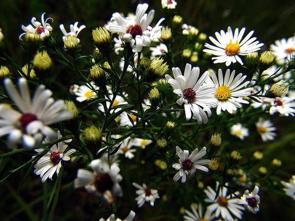 Photograph - White Wild Aster by Scott Hovind
