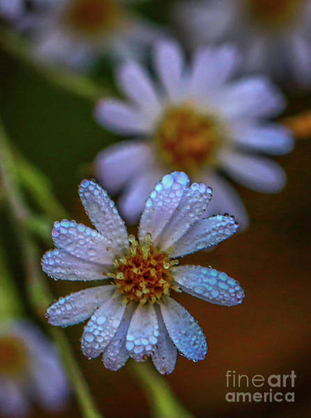 Photograph - White Wildflowers With Dew by Tom Claud