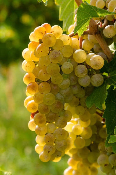 Photograph - White Wine Grapes by Teri Virbickis