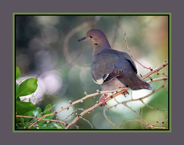 Photograph - White-winged Dove 0210-050918-1cr-matte by Tam Ryan